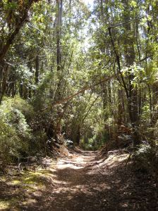 Bush track surrounded by trees